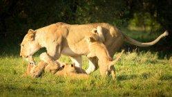 Львица, играя с медвежатами на траве — стоковое фото