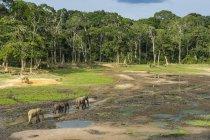 African forest elephants at Dzanga Bai — Stock Photo