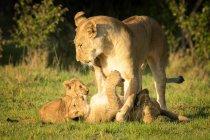 Leoa, jogando com os filhotes na grama — Fotografia de Stock