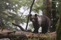 Urso-pardo Europeu — Fotografia de Stock