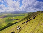 Cows grazing on the slope of Serra do Cume — Stock Photo
