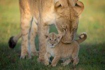 Leoa com pé de filhote na grama — Fotografia de Stock