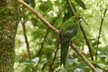 Kakariki rouge assis sur une branche — Photo de stock