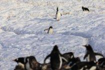 Gentoo penguins in colony — Stock Photo