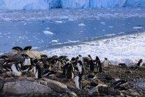 Колония пингвинов Gentoo — стоковое фото