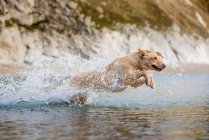 Golden labrador running in water — Stock Photo