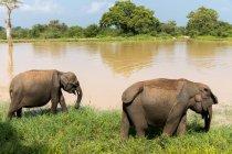 Asian elephants walking near lake — Stock Photo