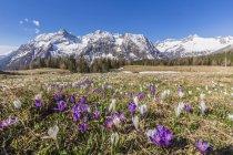 Квітучі Крокус квіти весни — стокове фото