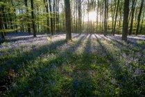 Готель Bluebells росте у лісі — стокове фото
