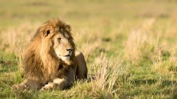 Männlicher Löwe liegend in der wilden Natur — Stockfoto