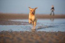 Labrador retriever correndo na poça — Fotografia de Stock