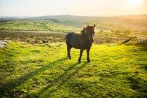 Пони в национального парка Дартмур — стоковое фото