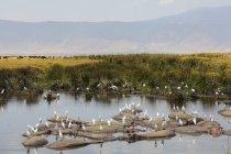 Білі чаплі великої рогатої худоби і бегемотів на воді отвір, Нгоронгоро кратер, Танзанія, Східна Африка, Африка — стокове фото