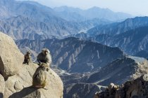 Baboons sitting on mountain cliff, Abha, Saudi Arabia, Middle East — Stock Photo