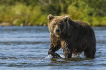 Pé de urso ao lado Moraine Creek, Katmai National Park e reserva, Alasca, Estados Unidos da América — Fotografia de Stock