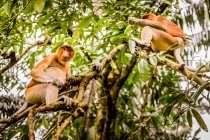 Proboscis monkey sitting on tree branches — Stock Photo