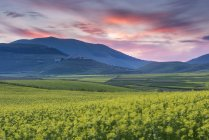 Flowering lentils on the Piano Grande at sunset, Monte Sibillini, Umbria, Italy — Stock Photo