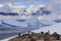 Колония пингвинов Gentoo на берегу, Кювервиль остров, канал Эррера, берег Данко, Антарктического полуострова, Антарктиды, полярные регионы — стоковое фото
