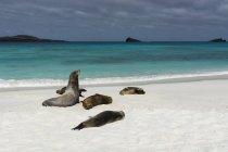 Galapagos Sea Lions resting on sandy beach, Gardner Bay, Espanola Island, Galapagos Islands, South America — Stock Photo