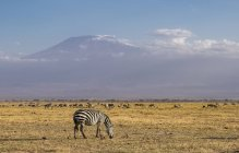 Zebra and Mount Kilimanjaro in Amboseli National Park, Kenya, East Africa, Africa — Stock Photo