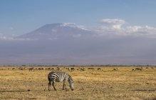 Zebra e Monte Kilimangiaro nel Parco nazionale di Amboseli, Kenya, Africa orientale, Africa — Foto stock