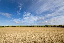 Maturation de champ de blé et de ciel bleu dans le Northumberland, Angleterre, Royaume Uni — Photo de stock