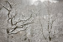 Snow covered tree branches in forest — Stock Photo