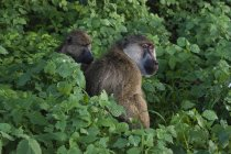 Zwei gelbe Paviane Pflege in Pflanzen, Tsavo, Kenia, Ostafrika, Afrika — Stockfoto