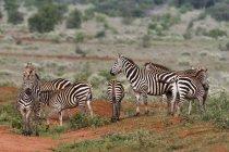 Troupeau de zèbres des plaines debout dans la nature, Tsavo, au Kenya, en Afrique orientale, Afrique — Photo de stock