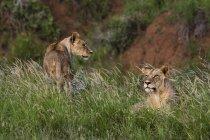 Леви в трави в природі, Тсаво, Кенії, Східна Африка, Африка — стокове фото