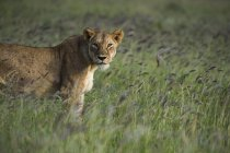 Lioness standing in tall grass in savanna and looking at camera, Tsavo, Kenya, East Africa, Africa — Stock Photo