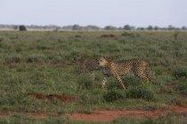 Два гепарды, ходить в саванне, Тсаво, Кения, Восточная Африка, Африка — стоковое фото