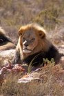 Lion resting in savanna, Aquila Safari Game Reserve, Cape Town, South Africa, Africa — Stock Photo