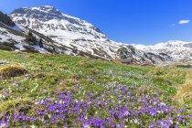 Flowering purple crocuses at Julier Pass, Parc Ela, Region of Albula, Canton of Graubunden, Switzerland, Europe — Stock Photo