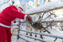Santa Claus feeding reindeer in winter forest — Stock Photo