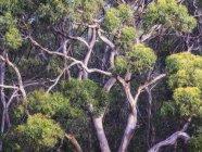 Résumé détails d'eucalyptus en Australie — Photo de stock