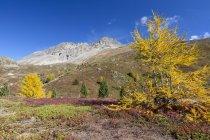 Mélèzes jaunes en automne — Photo de stock