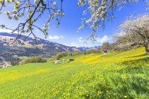 Frühling blüht auf Wiese von Sankt Antonien, kennezulernen Tal, Kanton Graubünden, Schweiz, Europa — Stockfoto
