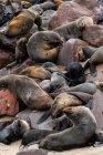 Selar a colônia sobre as rochas, as focas Cape, Costa Atlântica, cabo Cruz, Namíbia, África — Fotografia de Stock