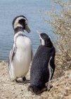 Dois pinguins de Magalhães, de pé na rocha costa, Caleta Valdes, Península Valdés, província de Chubut, Patagonia, Argentina, América do Sul — Fotografia de Stock
