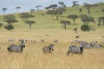 Rebanho de zebras de planícies de savana, Seronera, Parque Nacional Serengeti, na Tanzânia, leste da África, África — Fotografia de Stock