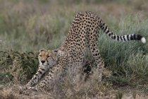 Ghepardo che si estende su erba, Ndutu, Ngorongoro Conservation Area, Serengeti, Tanzania, Africa orientale, Africa — Foto stock