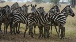 Zebras planícies permanente sob chuva na savana — Fotografia de Stock