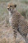 Chita, sentado na grama, na natureza, Ndutu, conservação de Ngorongoro área, Serengeti, na Tanzânia, leste da África, África — Fotografia de Stock