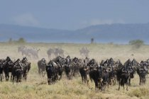 Herd of blue wildebeests in savanna, Ndutu, Ngorongoro Conservation Area, Serengeti, Tanzania, East Africa, Africa — Foto stock