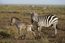 Poulain zèbre des plaines et la mère dans la savane, Ndutu, Ngorongoro Conservation Area, Serengeti, en Tanzanie, en Afrique orientale, Afrique — Photo de stock