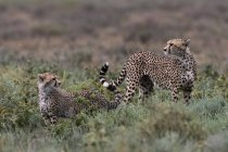Female cheetah with cub standing in nature, Ndutu, Ngorongoro Conservation Area, Serengeti, Tanzania, East Africa, Africa — Stock Photo