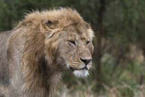 Close-up of calm lion standing in nature, Ndutu, Ngorongoro Conservation Area, Serengeti, Tanzania, East Africa, Africa — Stock Photo