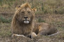 Calm lion lying in grass and looking at camera, Ndutu, Ngorongoro Conservation Area, Serengeti, Tanzania, East Africa, Africa — Stock Photo