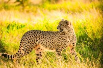 Cheetah standing in sunny grass in nature, Zululand, South Africa, Africa — Stock Photo